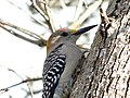 Golden-Fronted Woodpecker 0009.jpg