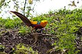 Golden Pheasant, courtship display, Tangjiahe Nature Reserve, Sichuan, China.jpg