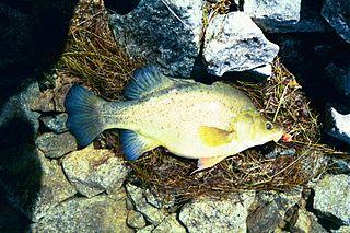 Golden perch Species of fish