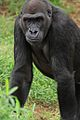 Gorilla's Power Stance.jpg