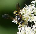 Gorytes laticinctus female, probably - Flickr - gailhampshire.jpg