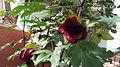 Gossypium arboreum-2-medi-yercaud-salem-India.JPG