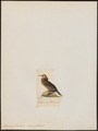 Graculus floridanus - 1820-1860 - Print - Iconographia Zoologica - Special Collections University of Amsterdam - UBA01 IZ18000117.tif