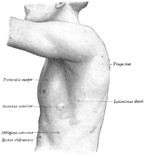 Serratus anterior muscle - The left side of the thorax.