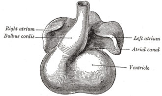 Bulbus cordis - Heart showing expansion of the atria.