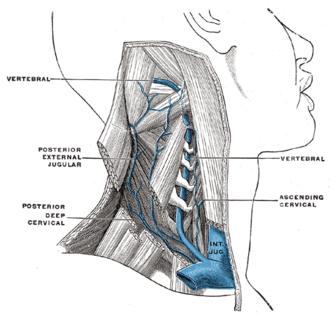 Vertebral vein - The vertebral vein. (Vertebral labeled at upper left and center right.)