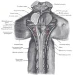 Bagsiden af rygmarvens øvre del