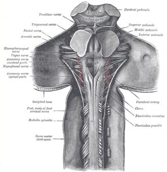 Juxtarestiform body - Image: Gray 686