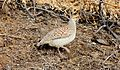 Gray Francolin (Francolinus pondicerianus) (26372491542).jpg