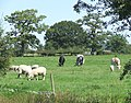 Grazing by the Macclesfield Canal, Bosley, Cheshire - geograph.org.uk - 550767.jpg