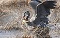 Great Blue Heron (204018999).jpeg