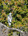 Great Blue Heron - Ardea Herodias - St Johns River 1.jpg