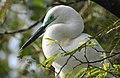 Great Egret Ardea alba by Dr. Raju Kasambe DSCN5044 (3).jpg
