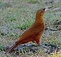 Great Rufous Woodcreeper (Xiphocolaptes major) foraging under cow pat ... (30786667773).jpg