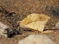 Great orange tip from Melagiri TN IMG 6350.jpg