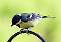 Great tit on railing.jpg