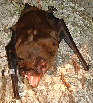 Greater noctule bat - Nyctalus lasiopterus showing its impressive teeth (taken from Popa-Lisseanu et al. 2007).