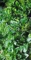 Green Leafy Vegetables.jpg