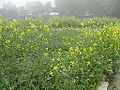 Green field in village of Bogra 06.JPG