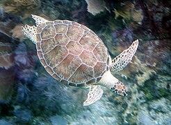 Green turtle John Pennekamp