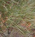 Grevillea juncifolia foliage and fruit.jpg