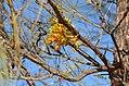 Grevilleajuncifolia15223896078 9c6baf84e4 o.jpg