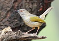 Grey-backed Camaroptera, Camaroptera brachyura, at Pilanesberg National Park, South Africa (15808970908).jpg
