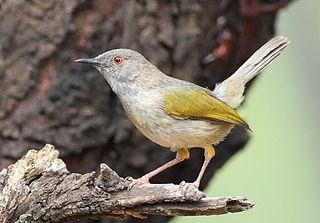 <i>Camaroptera</i> genus of birds