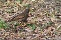 Grey Winged Blackbird Female.jpg