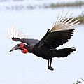Ground Hornbill, Chobe National Park, Botswana (36427414050).jpg