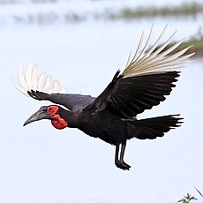 Ground Hornbill, Chobe National Park, Botswana (36427414050).jpg