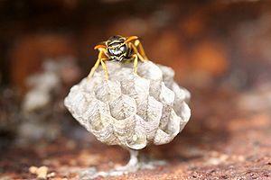 Guêpe sur son nid pédonculé.JPG