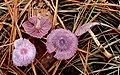 Gymnopus iocephalus (Berk. & M.A. Curtis) Halling 946728.jpg