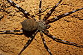 Höhlenspinne Ankarana MS6226.jpg