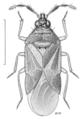 HEMI Anthocoridae Buchananiella whitei.png