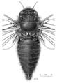 HEMI Cicadidae Maoricicada oromelaena m 2.png
