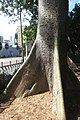 HK CWB 高士威道 Causeway Bay Road 維多利亞公園 Victoria Park tree Sept 2017 IX1 吉貝 Ceiba pentandra trunk 05.jpg