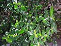 HK Mid-levels High Street clubhouse green leaves plant February 2019 SSG 84.jpg