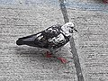 HK SYP 西環 Sai Ying Pun Market 正街 Centre Street 鴿子 pigeons near Third Street April 2020 SS2 09.jpg