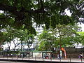 HK TST Nathan Road green Sidewalk Chinese Banyan trees Aug-2015 DSC.jpg