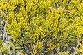 Halocarpus bidwillii in Rangipo Desert 02.jpg