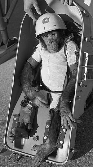 "Monkeys and apes in space - Chimpanzee Ham in his ""space suit"" before flight"