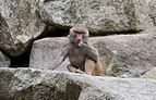 Hamadríade (Papio hamadryas), Tierpark Hellabrunn, Múnich, Alemania, 2012-06-17, DD 10.JPG