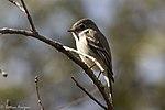 Hammond's Flycatcher Hunter Canyon Sierra Vista AZ 2018-02-06 12-19-36 (39422109184).jpg