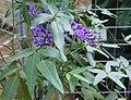 Hardenbergia comptoniana.jpg