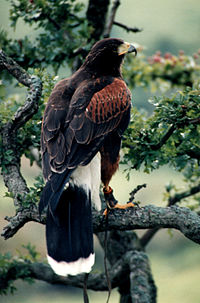 Harrishawk (Verrier)
