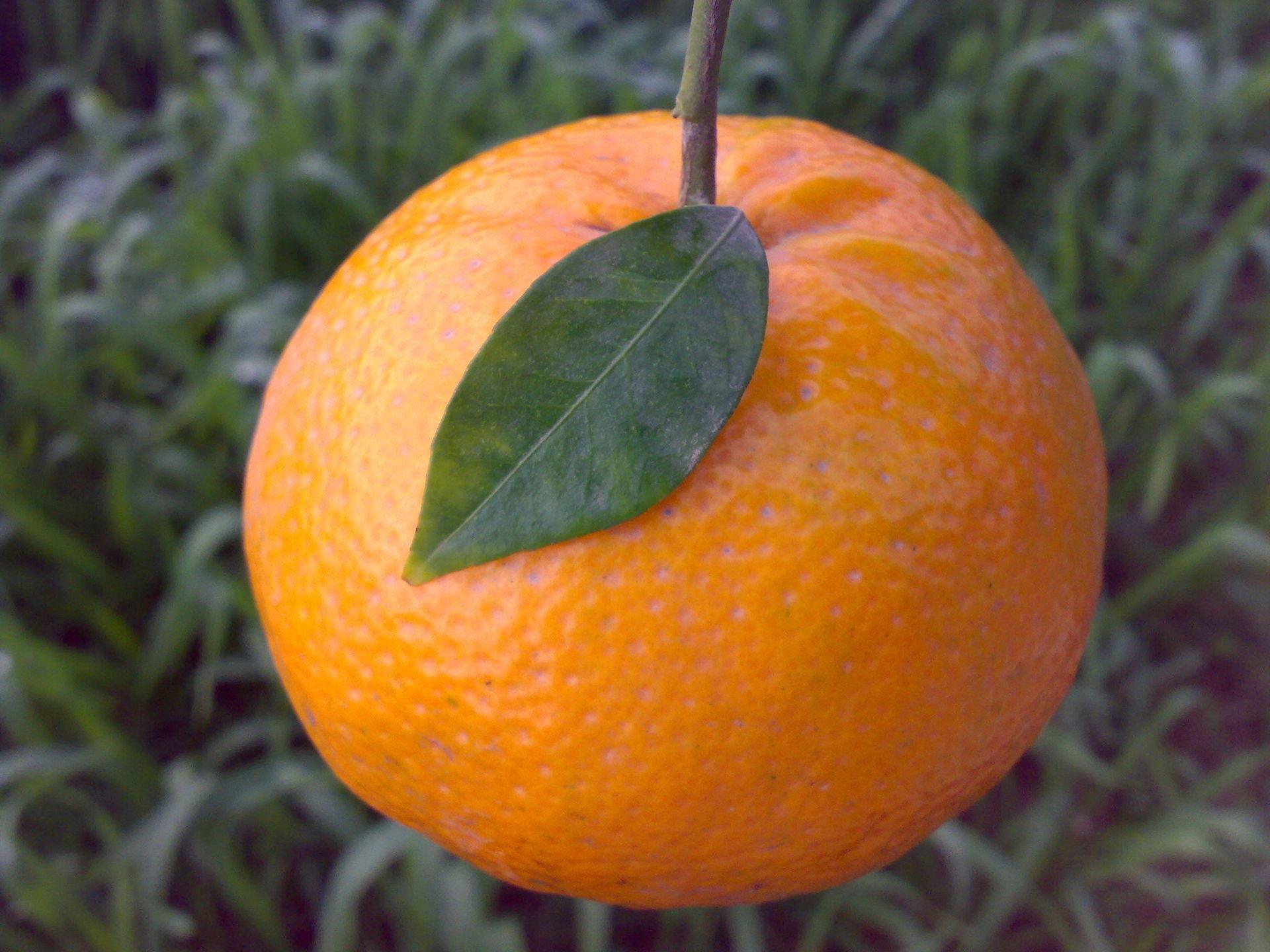Image Result For Orange Tree