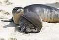 Hawaiian Monk Seal With Debris (37357696511).jpg