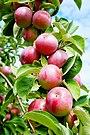 Healthy McIntosh apples - panoramio.jpg