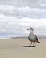 Heermann's gull, Larus heermanni, Moss Landing and Monterey Bay area, California, USA (30682401370).jpg